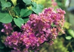 TEMPORARILY OUT OF STOCK.....MAHARA BEAUTY-Violet to Orange Blooms Green Foliage