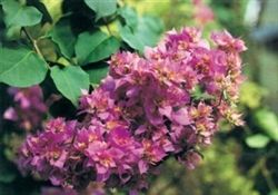 MAHARA BEAUTY-Violet to Orange Blooms Green Foliage