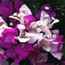 Surprise Bougainvillea-Bicolor Lilac and Pinkish White with Green Foliage-Tropical 9+