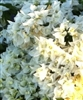 VERA WHITE-Double Blooms White with Green Foliage