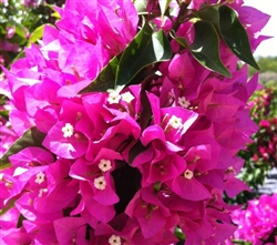 Bougainvillea Vera Light Purple-Double Blooms Lavender Red with Green Foliage