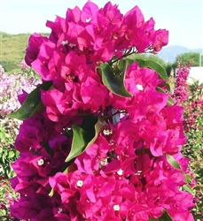 Bougainvillea Vera Deep Purple-Double Blooms Lavender Red with Green Foliage