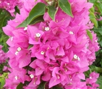 Bougainvillea Vera Pink-Double Pink Blooms with Green Foliage