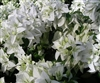Bougainvillea Mauna Kea-Double Blooms White with Green Foliage