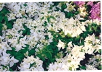 Bougainvillea Miss Alice-Double Blooms White with Green Foliage
