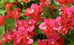 Bougainvillea Miss Manila-Blooms Orange-Red with Green Foliage