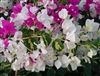 Bougainvillea Vicky-Bicolor Blooms Lavender Rose and White with Variegated Voliage Z9