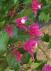 Bougainvillea V. F. RUBY-Blooms Dark Ruby Red with Green Foliage