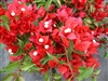 BOUGAINVILLEA TOMATO RED-Blooms Orange Red with Green Foliage