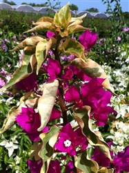 BOUGAINVILLEA-DISCOUNT COMBO PACK--(10) Colors Nursery Choice