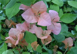 Bougainvillea Rosa Preciosa-Blooms Lilac with Green Foliage