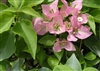 Bougainvillea Josephine Beba- Blooms Pink with Green Foliage
