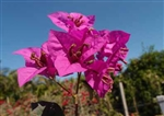Bougainvillea Isla Morada-Blooms Lavender Red with Green Foliage
