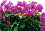 Bougainvillea Texas King-Blooms Purple with Green Foliage