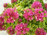 BOUGAINVILLEA PIXIE QUEEN-Double Blooms Rose Red with Variegated Foliage-Tropical 9+