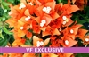 BOUGAINVILLEA FIRE OPAL-Blooms Golden Orange with Green Foliage-Tropical 9+