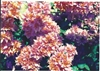 Bougainvillea Mahara Roseville-Double Bicolor Blooms Orange changing to Pink with Green Foliage