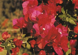 Bougainvillea Scarlet O'Hara-Blooms Red with Green Foliage