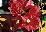 Bougainvillea Don Fernando-Blooms Dark Red with an Orange Tinge