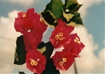 Bougainvillea Lafitte-Blooms Red with Tinge of Orange with Variegated Foliage