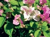Bougainvillea Miss Universe-Bicolor Blooms of White and Lavender to Pink with Green Foliage