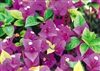Bougainvillea Queen Violet-Blooms Violet with Green Foliage