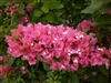 BOUGAINVILLEA VERA LYNN - PINK BRACTS COMPACT NON VINING GREEN FOLIAGE TROPICAL ZONE 9+