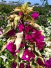 BOUGAINVILLEA VERA VARIEGATA -REDDISH PURPLE BRACTS BUSH NON VINING VARIEGATED FOLIAGE TROPICAL ZONE 9+