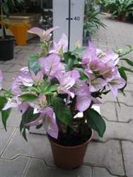 BOUGAINVILLEA RIJNSTAR LILA-Blooms Lilac Light Lavender with Green Foliage-Tropical 9+