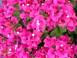 BOUGAINVILLEA HELEN JOHNSON -Blooms Magenta Pink with Green Foliage-Tropical 9+
