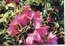 SAVITEE BOUGAINVILLEA-BLOOMS PINK WITH VARIEGATED LEAVES
