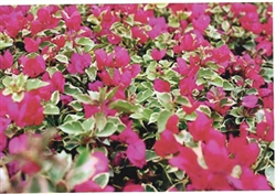 ROYAL BENGAL RED BOUGAINVILLEA-BLOOMS PINK WITH VARIEGATED LEAVES