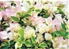 DOUBLE DELIGHT BOUGAINVILLEA-BLOOMS/BRACTS PINKY-WHITEWITH VARIEGATED LEAVES -Tropical Z 9+