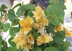 Bougainvillea Aussie Gold-Dbl Blooms Gold-Yellow with Green Foliage-Tropical 9+