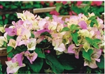 BOUGAINVILLEA FLAMINGO BOUGAINVILLEA-Bicolor White with Pink tips with green leaves-TROPICAL Z 9+