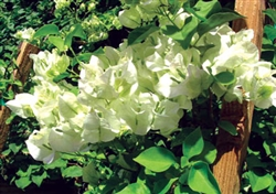 BOUGAINVILLEA SHUBRA-Blooms White with Green Foliage-Tropical 9+ Spreading.
