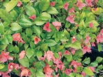 BOUGAINVILLEA LADY CASIMIR-Blooms Orange-Red SALMON with Green Foliage-Tropical Zone 9+