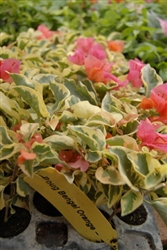 Bougainvillea Bengal Orange-Blooms Orange with Variegated Foliage