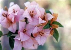 BOUGAINVILLEA HUGH EVANS-Blooms CORAL with Green Foliage-Tropical Zone: 9+ Spreading.