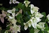BOUGAINVILLEA RIJNSTAR WHITE-Blooms White with Green Foliage-Tropical 9+