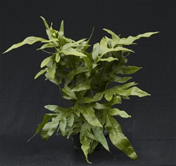 TEMPORARILY OUT OF STOCK.....*HAWAIIAN LAUA'E FERN 'Microsorum grossum 'laua'e'*