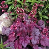 HEUCHERA  ROSE PINK LEAVES-LT PURPLE FLOWERS Z 4-9