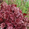 HEUCHERA BERRY MARMALADE DEEP PURPLE BLACK LEAVES-SILVERY VEIL  Z 4-9