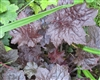 HEUCHERA MOLLY BUSH- Cream Colored Blooms Maroon Foliage Zone 4-9