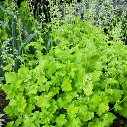 HEUCHERA LIME RICKEY LIME GREEN TO CHARTREUSE RUFFLED FOLIAGE WHITE FLOWERS  Z 4-9