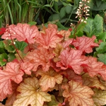 HEUCHERA PAPRIKA GLOWING CHERRY-CORAL FOLIAGE Z 4-9