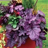 HEUCHERA SPELLBOUND RUFFLED FOLIAGE OF SILVER WITH TINTS OF ROSE PURPLE  Z 4-9