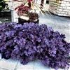 HEUCHERA PURPLE FOREVER ULTRA-PURPLE GLOSSY FOLIAGE WITH FLUTED EDGES Z 4-9