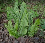 Australian Sword Fern-Nephrolepis obliterata  TROPICAL Zone 9-11