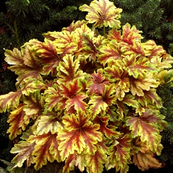 HEUCHERELLA  GOLD ZEBRA BRIGHT YELLOW, FEATHERY LEAVES MARKED WITH DARK RED VEINS Z 4-9